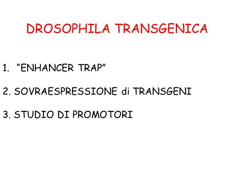 DROSOPHILA TRANSGENICA