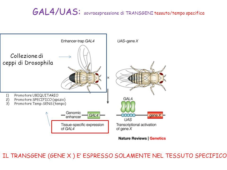 IL TRANSGENE (GENE X ) E' ESPRESSO SOLAMENTE NEL TESSUTO SPECIFICO