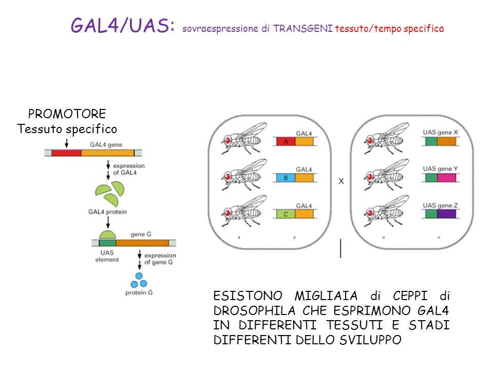 GAL4/UAS: sovraespressione di TRANSGENI tessuto/tempo specifica