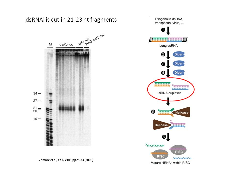 dsRNAi is cut in 21-23 nt fragments