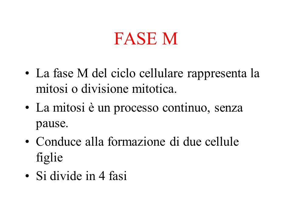 FASE MLa fase M del ciclo cellulare rappresenta la mitosi o divisione mitotica. La mitosi è un processo continuo, senza pause.