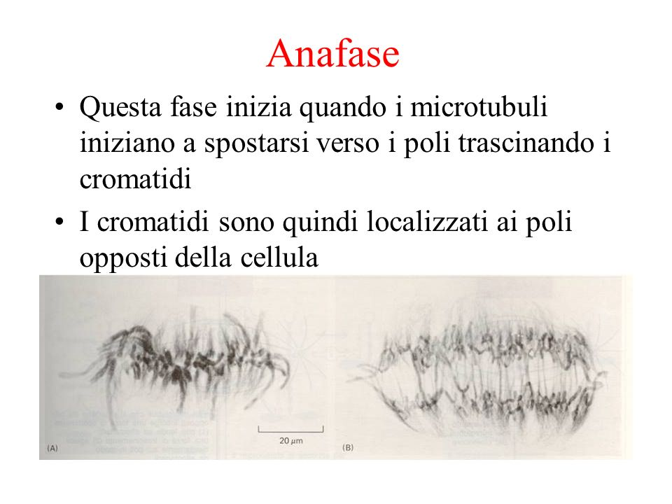 Anafase Questa fase inizia quando i microtubuli iniziano a spostarsi verso i poli trascinando i cromatidi.