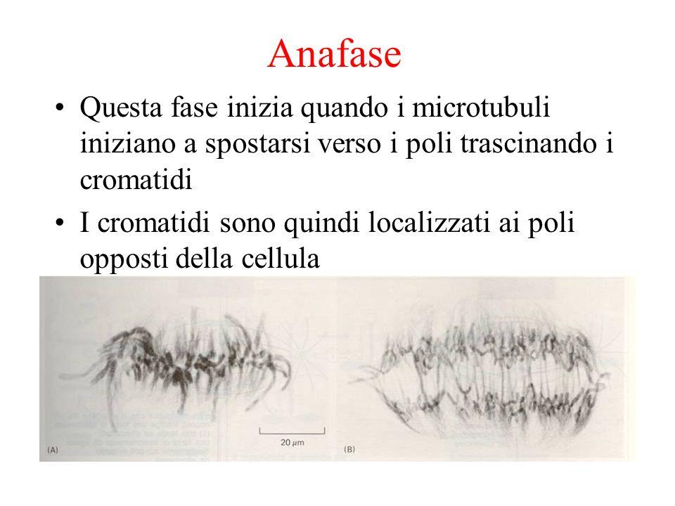 AnafaseQuesta fase inizia quando i microtubuli iniziano a spostarsi verso i poli trascinando i cromatidi.