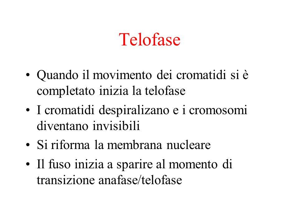 TelofaseQuando il movimento dei cromatidi si è completato inizia la telofase. I cromatidi despiralizano e i cromosomi diventano invisibili.