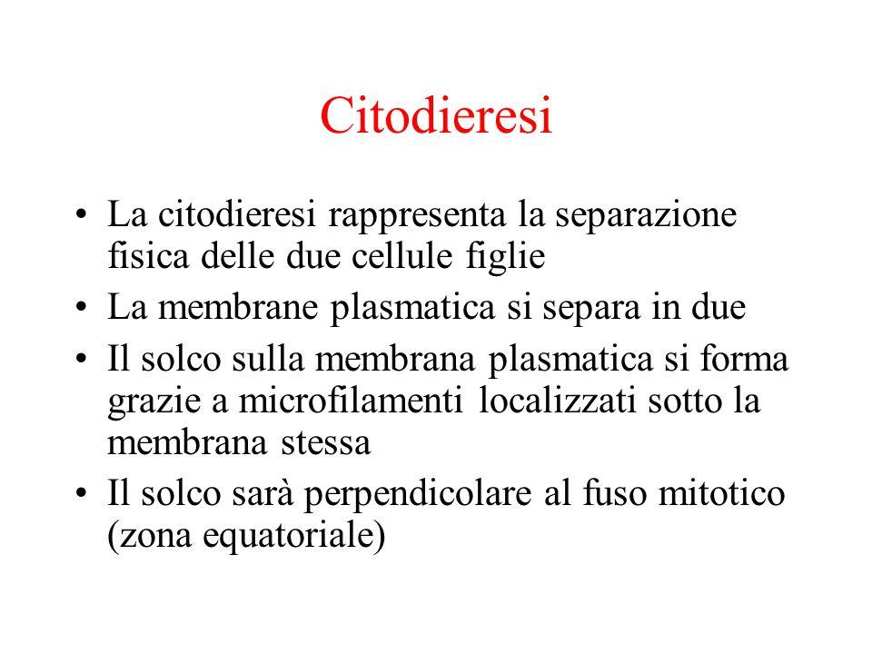Citodieresi La citodieresi rappresenta la separazione fisica delle due cellule figlie. La membrane plasmatica si separa in due.