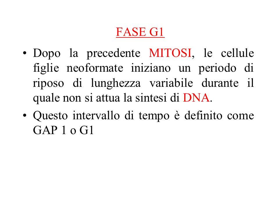 FASE G1