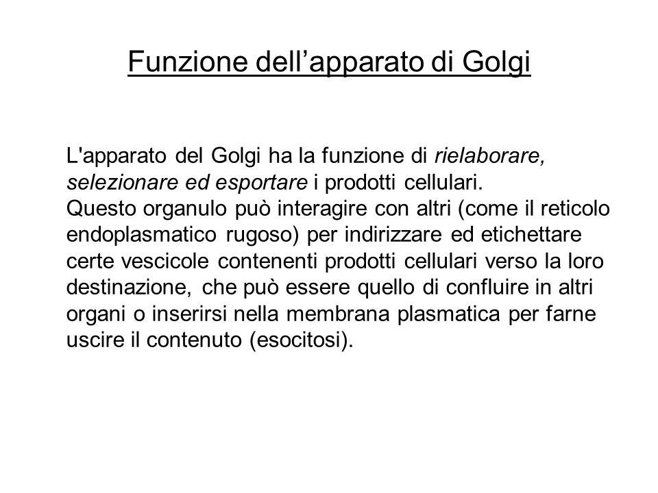 Funzione dell'apparato di Golgi