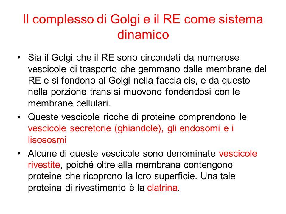Il complesso di Golgi e il RE come sistema dinamico
