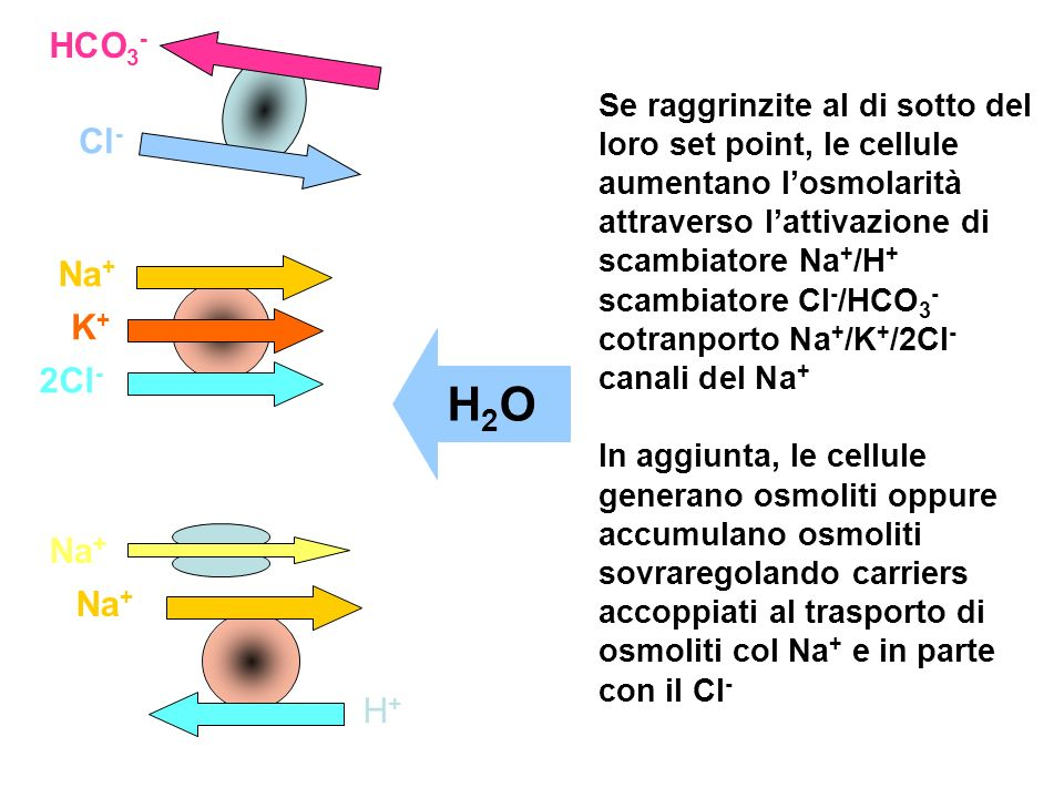 HCO3- Cl- Na+ K+ 2Cl- H+