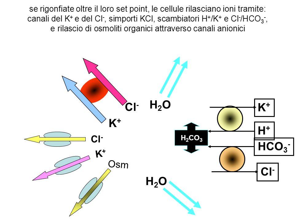 H2O Cl- K+ K+ H+ HCO3- Cl- Cl- K+ Osm