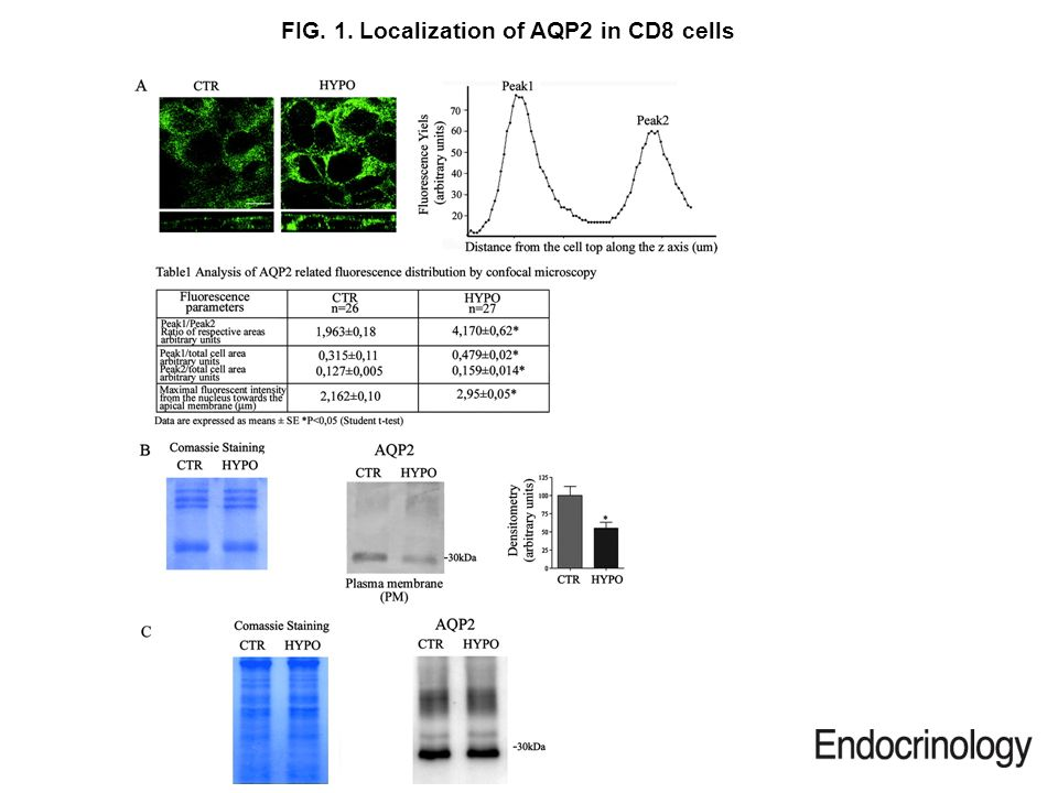 FIG. 1. Localization of AQP2 in CD8 cells