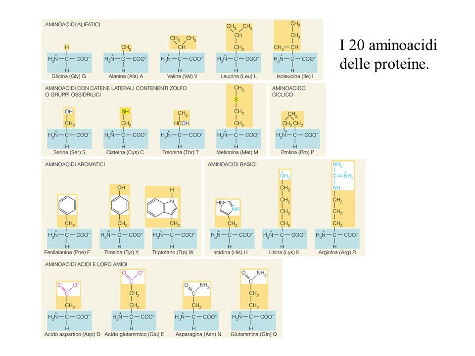 I 20 aminoacidi delle proteine.
