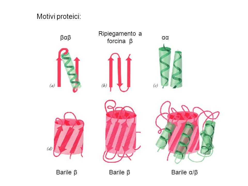 Motivi proteici: Ripiegamento a forcina β βαβ αα Barile β Barile β