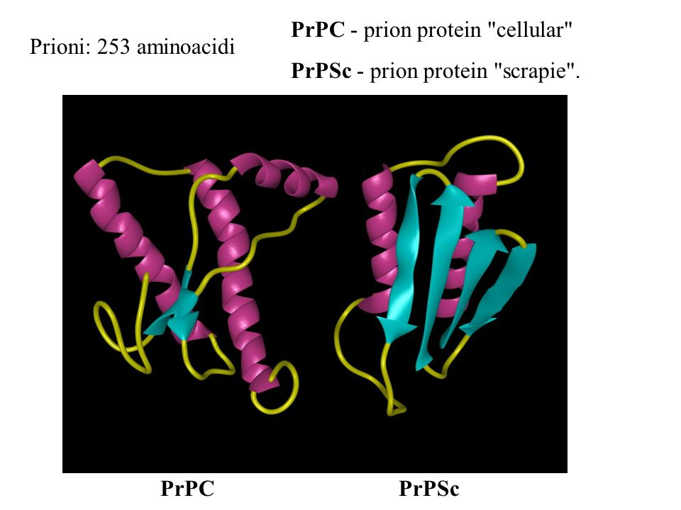 Prioni: 253 aminoacidi PrPC - prion protein cellular PrPSc - prion protein scrapie . PrPC PrPSc
