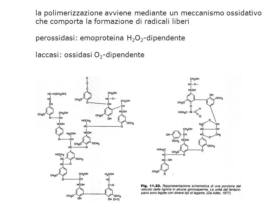 la polimerizzazione avviene mediante un meccanismo ossidativo che comporta la formazione di radicali liberi