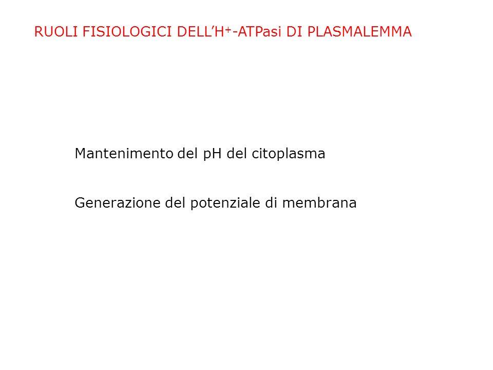RUOLI FISIOLOGICI DELL'H+-ATPasi DI PLASMALEMMA