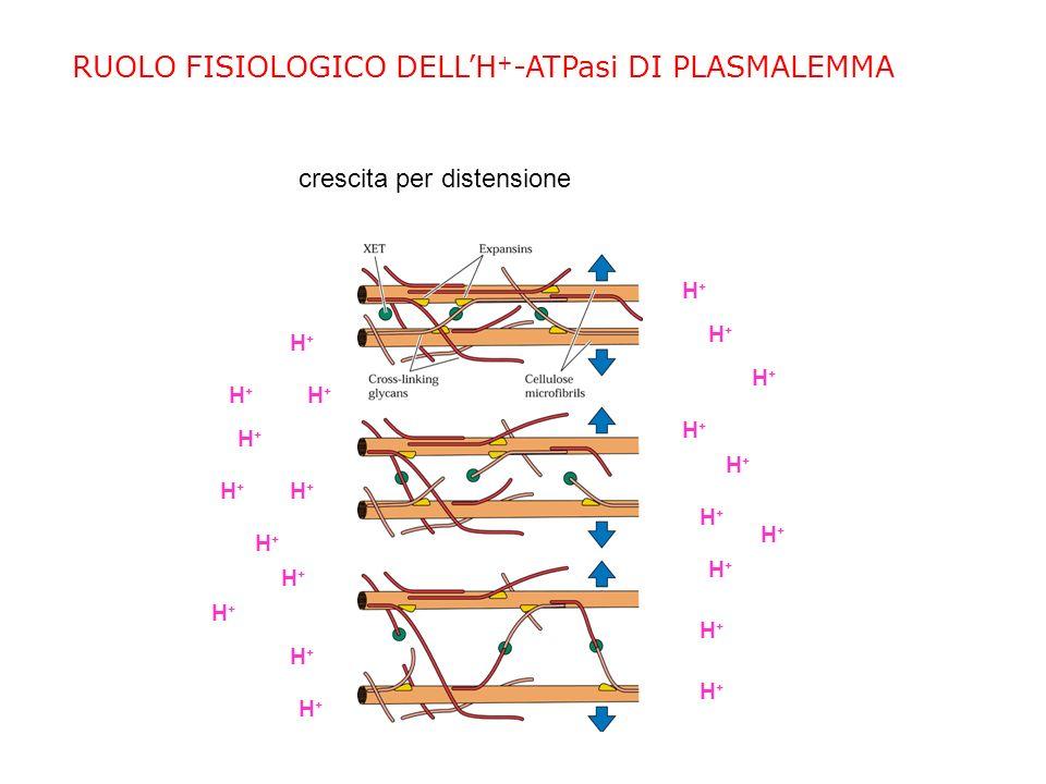 RUOLO FISIOLOGICO DELL'H+-ATPasi DI PLASMALEMMA