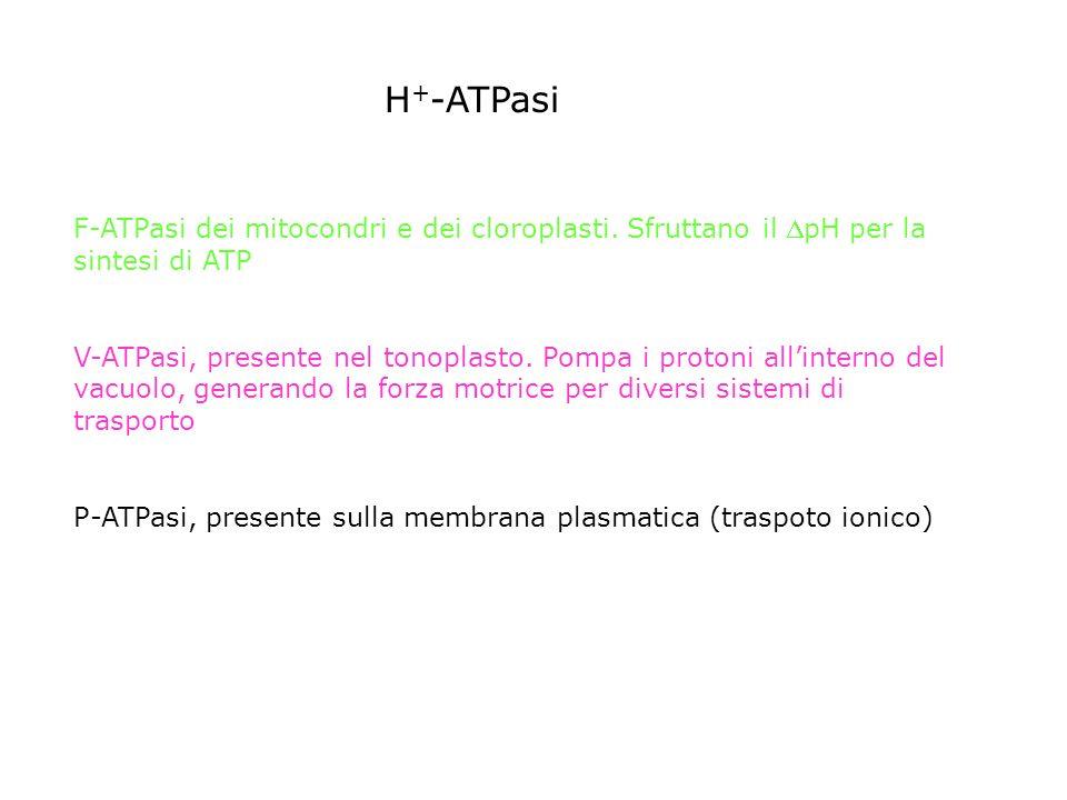 H+-ATPasi F-ATPasi dei mitocondri e dei cloroplasti. Sfruttano il pH per la sintesi di ATP.