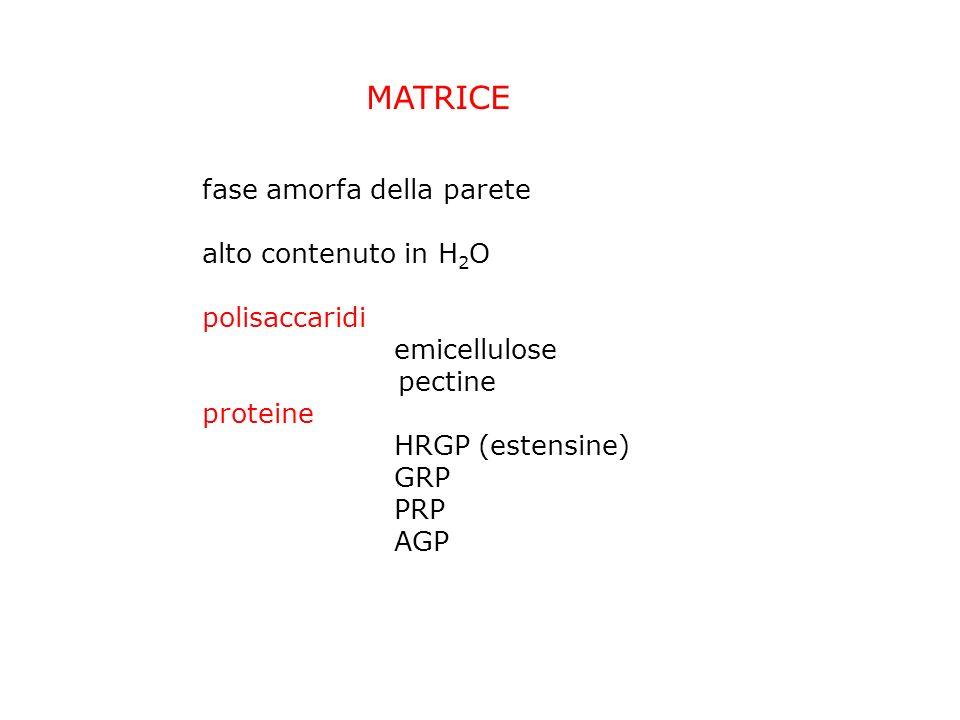 MATRICE fase amorfa della parete alto contenuto in H2O polisaccaridi