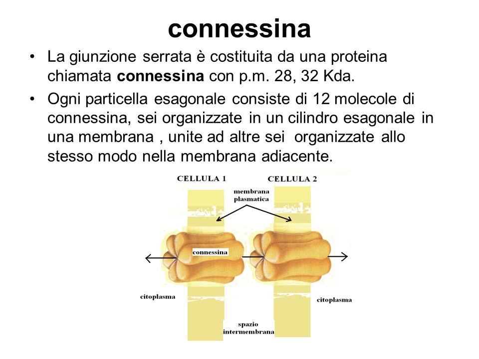 connessina La giunzione serrata è costituita da una proteina chiamata connessina con p.m. 28, 32 Kda.