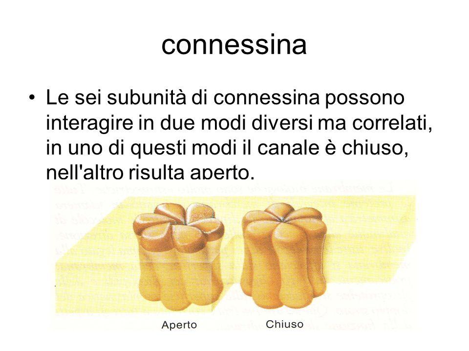 connessina