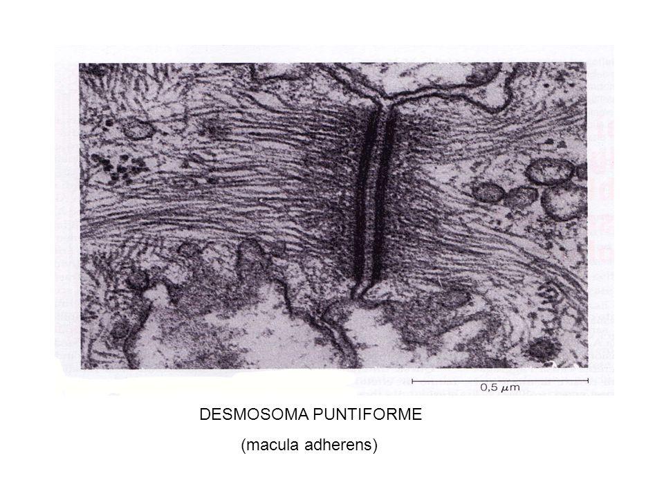 DESMOSOMA PUNTIFORME (macula adherens)