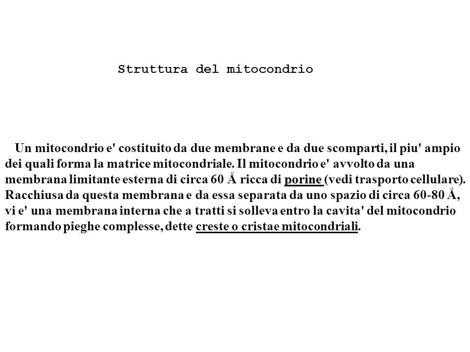 Struttura del mitocondrio