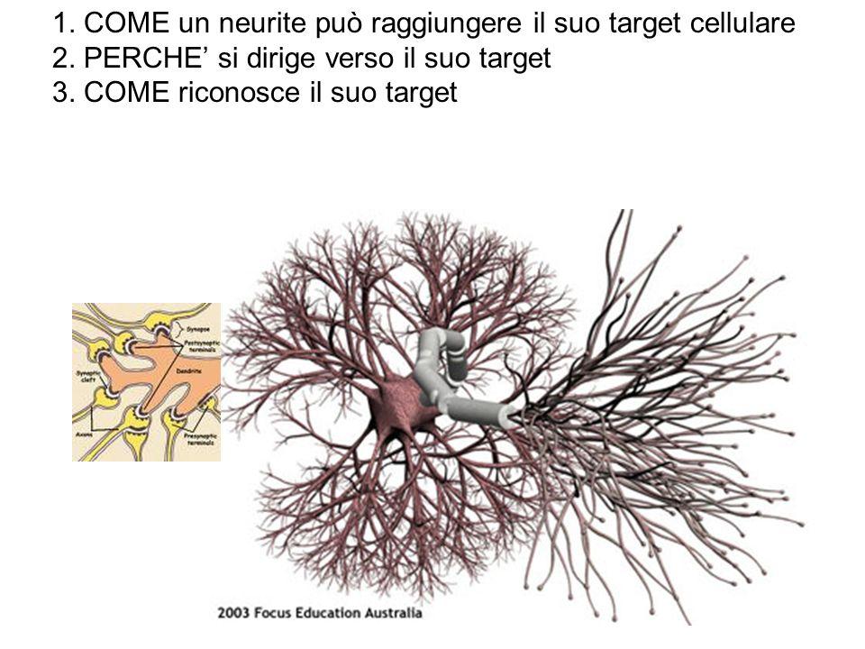 1. COME un neurite può raggiungere il suo target cellulare