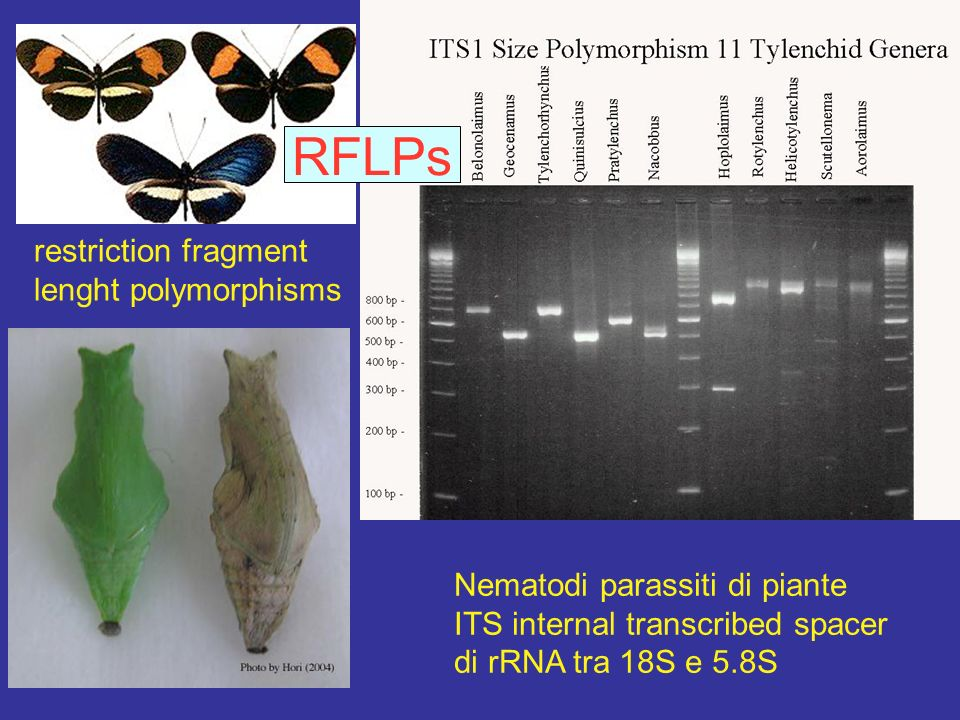 RFLPs restriction fragment lenght polymorphisms