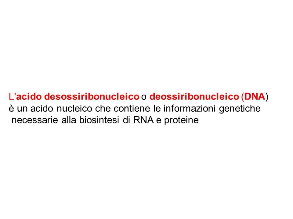L acido desossiribonucleico o deossiribonucleico (DNA)