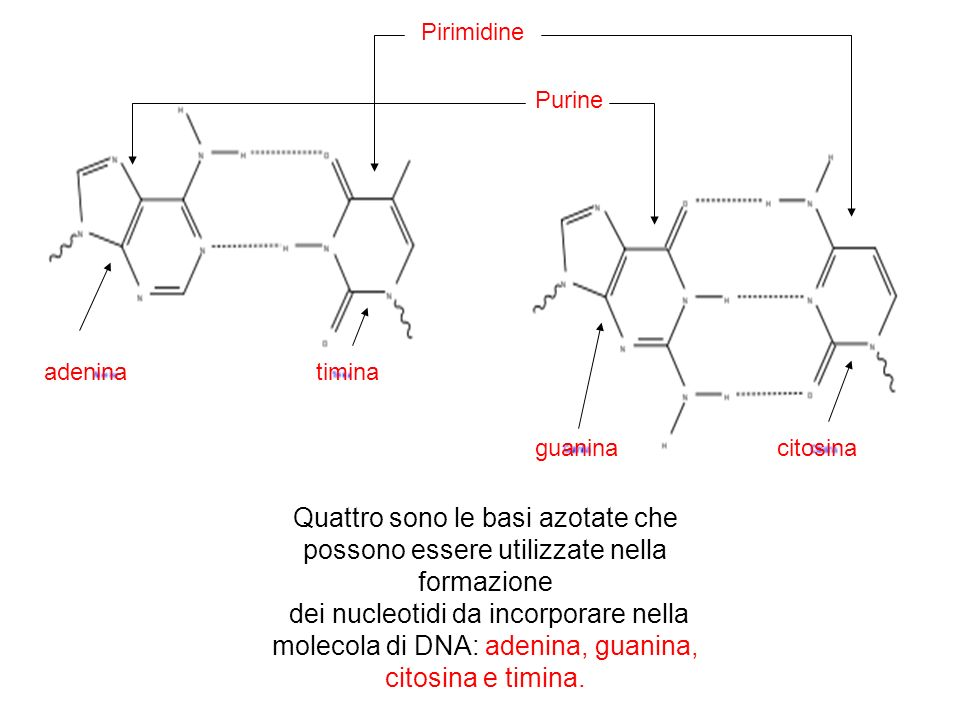 Pirimidine Purine. adenina. timina. guanina. citosina. Quattro sono le basi azotate che possono essere utilizzate nella formazione.