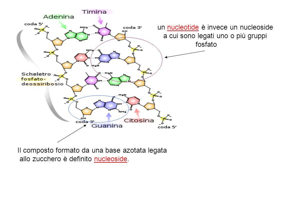 un nucleotide è invece un nucleoside