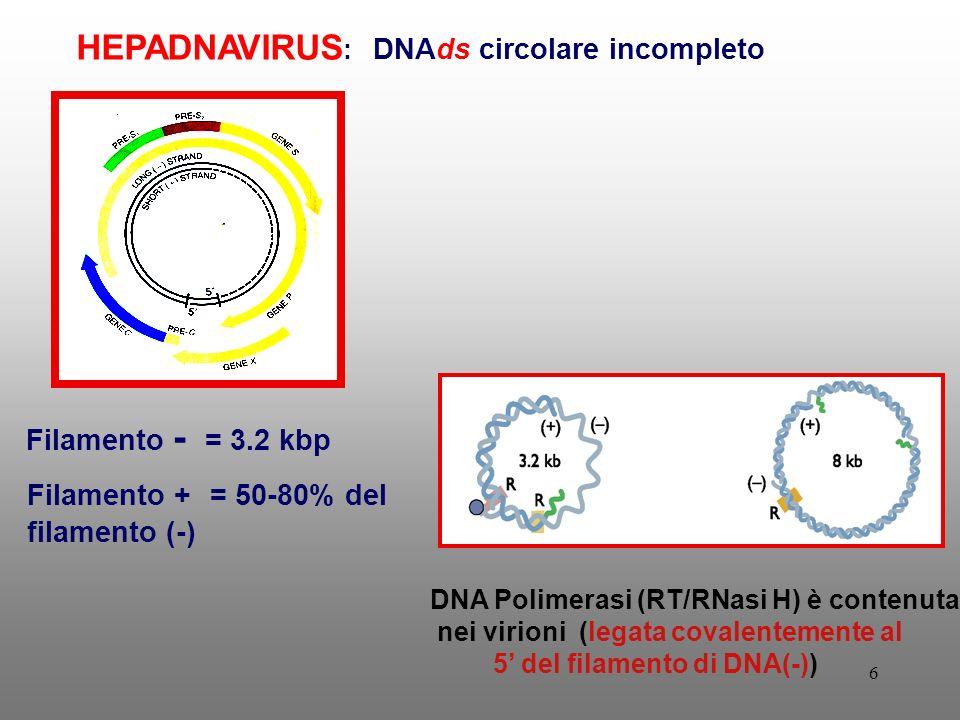 HEPADNAVIRUS: DNAds circolare incompleto