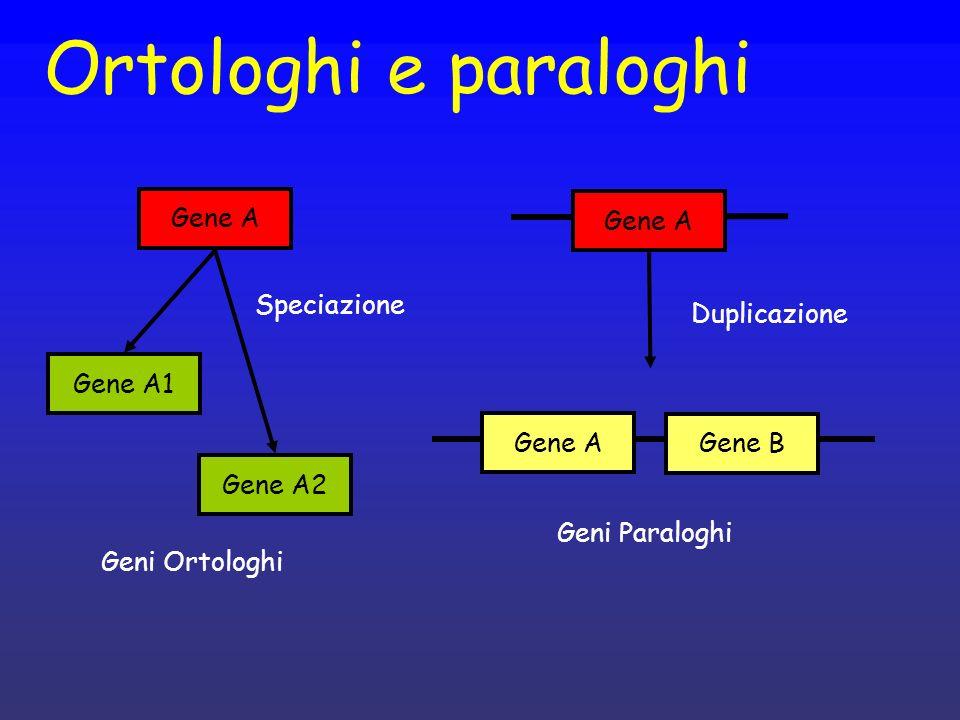 Ortologhi e paraloghi Gene A Gene A Speciazione Duplicazione Gene A1
