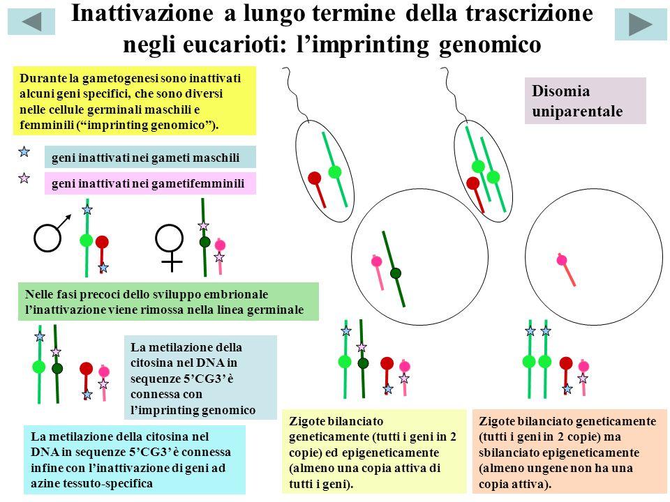Inattivazione a lungo termine della trascrizione negli eucarioti: l'imprinting genomico