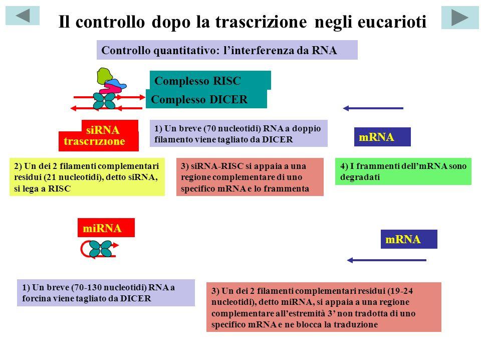 Il controllo dopo la trascrizione negli eucarioti