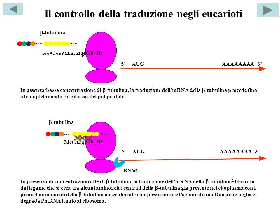 Il controllo della traduzione negli eucarioti