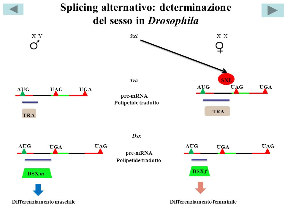 Splicing alternativo: determinazione del sesso in Drosophila