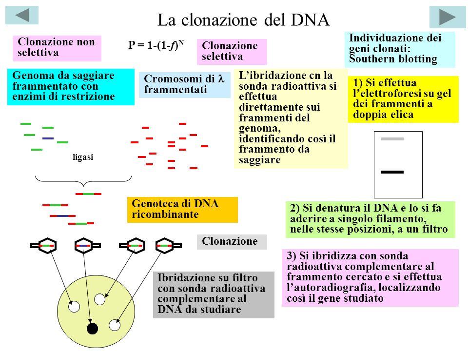 La clonazione del DNA Individuazione dei geni clonati: Southern blotting. Clonazione non selettiva.