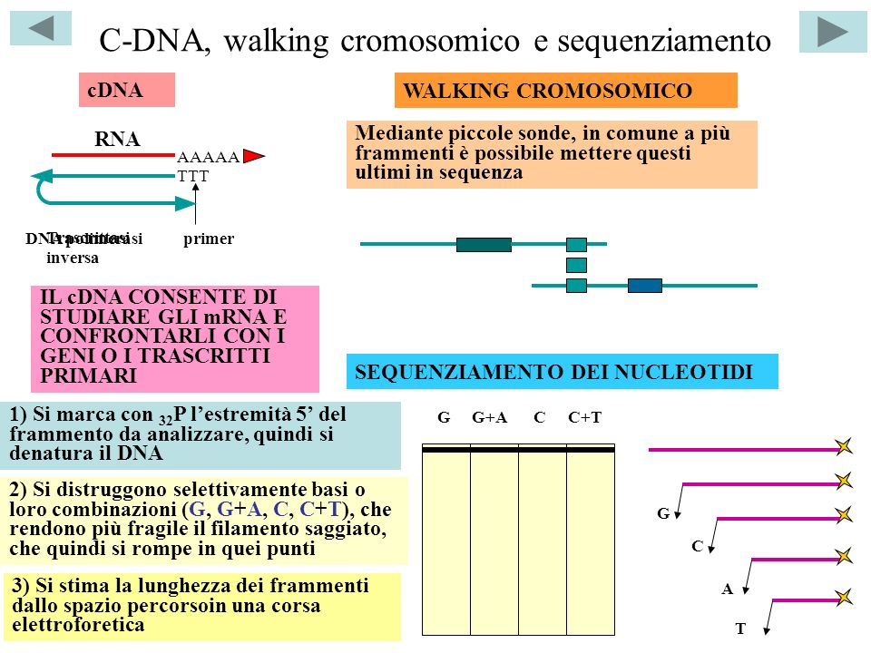 C-DNA, walking cromosomico e sequenziamento