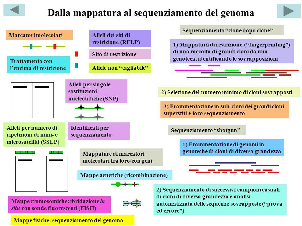 Dalla mappatura al sequenziamento del genoma