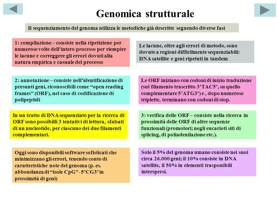 Genomica strutturale Il sequenziamento del genoma utilizza le metodiche già descritte seguendo diverse fasi.