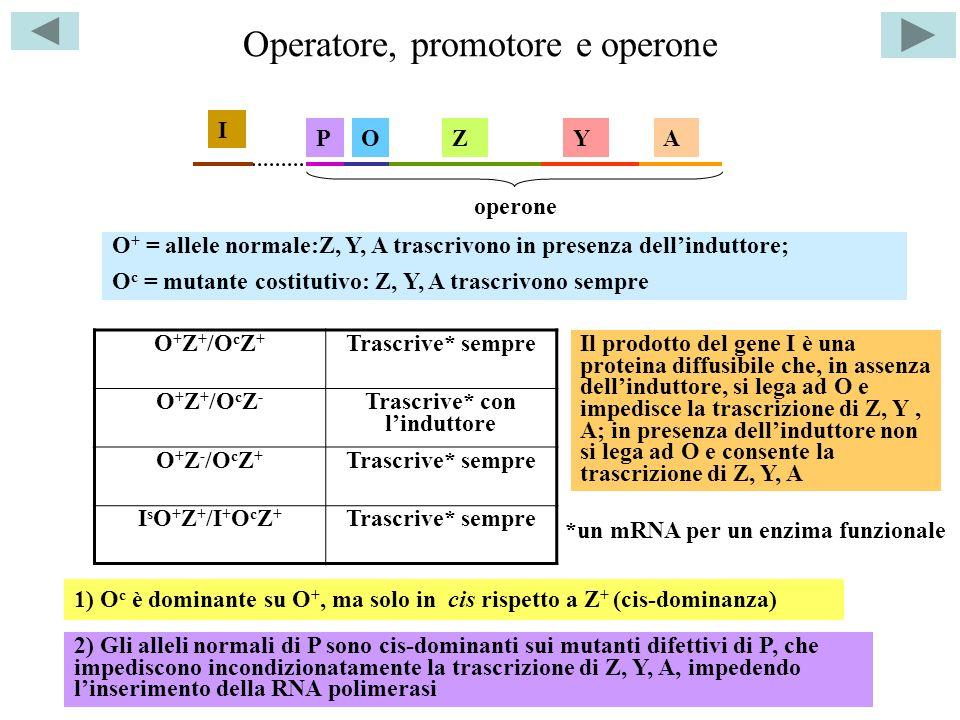 Operatore, promotore e operone
