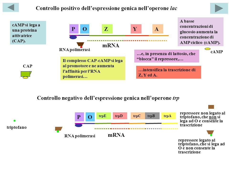 Controllo positivo dell'espressione genica nell'operone lac