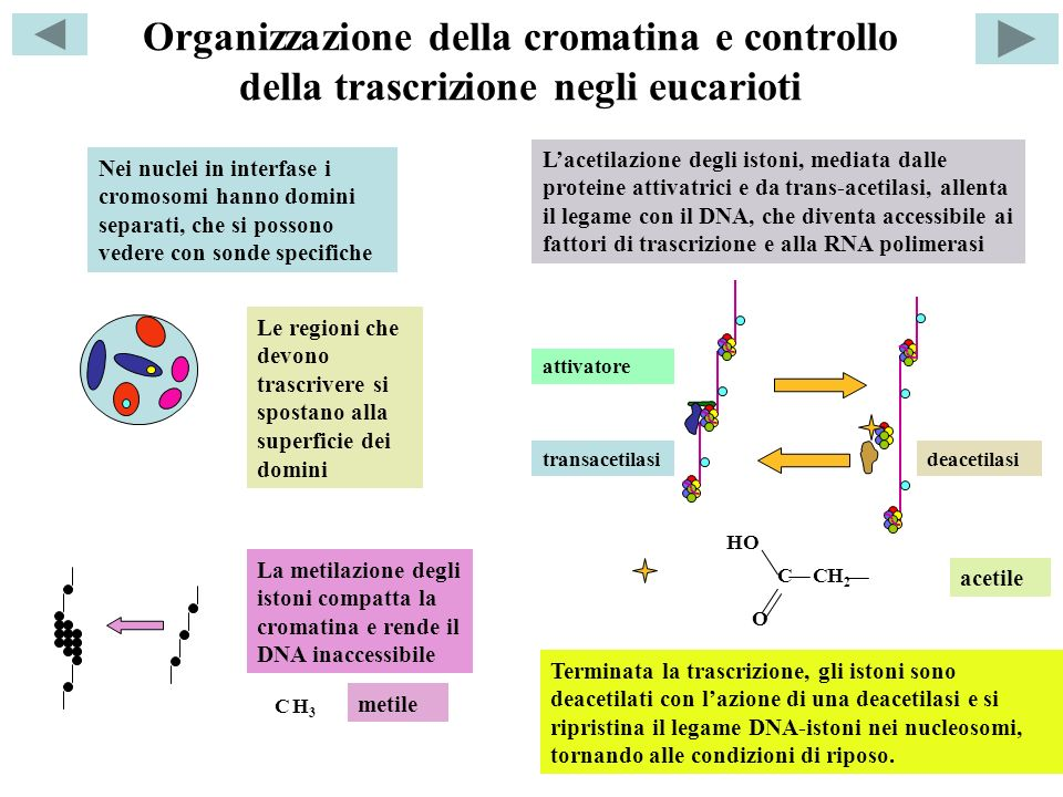 Organizzazione della cromatina e controllo della trascrizione negli eucarioti