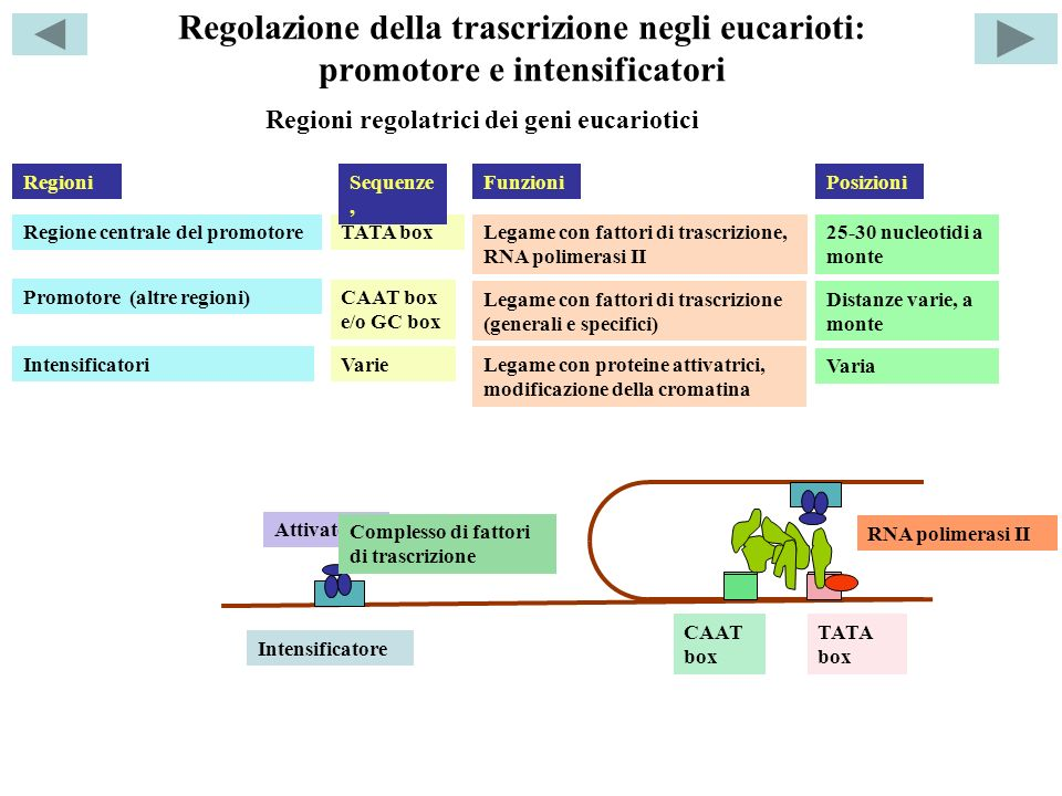 Regolazione della trascrizione negli eucarioti: promotore e intensificatori