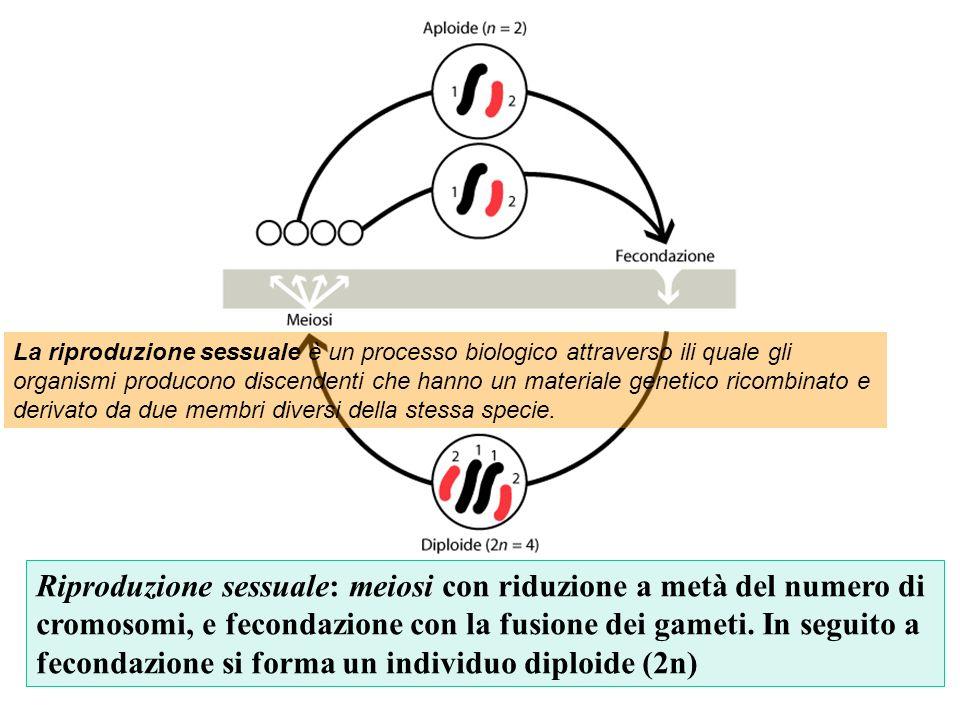 Riproduzione sessuale: meiosi con riduzione a metà del numero di