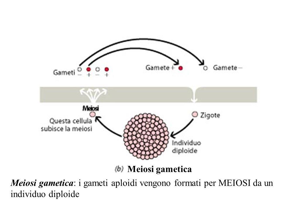 Meiosi gametica Meiosi gametica: i gameti aploidi vengono formati per MEIOSI da un.