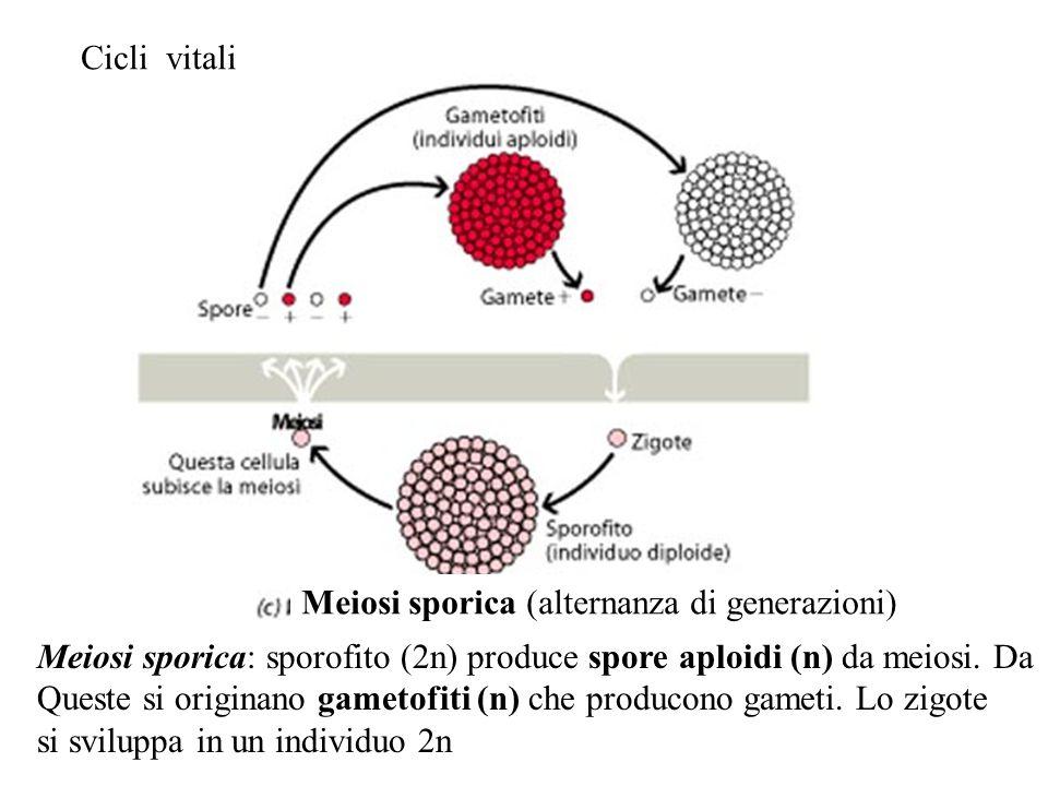 Cicli vitali Meiosi sporica (alternanza di generazioni) Meiosi sporica: sporofito (2n) produce spore aploidi (n) da meiosi. Da.