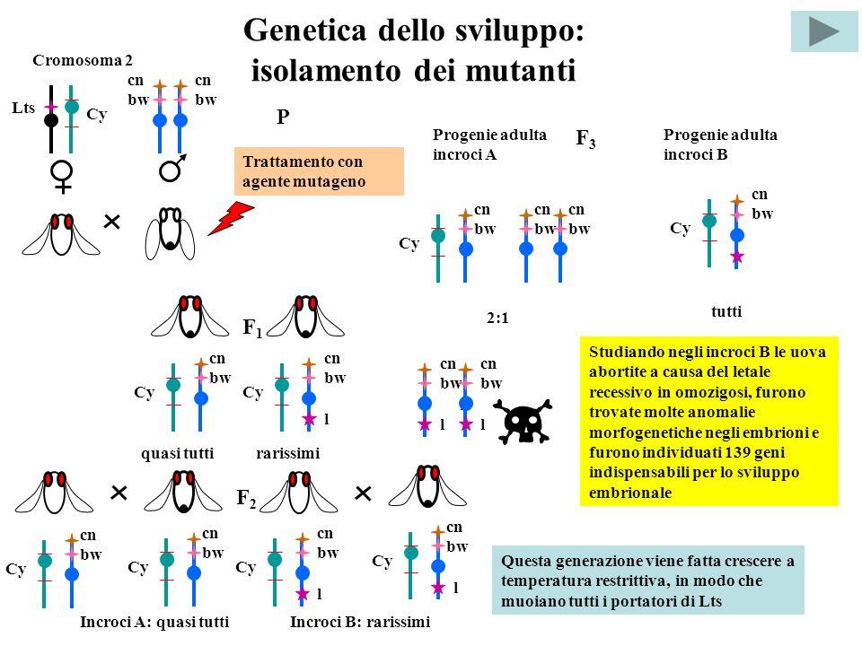 Genetica dello sviluppo: isolamento dei mutanti